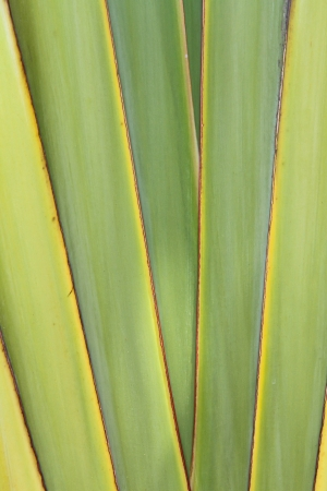 Ravenala madagascariensis photo