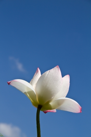 White lotus on blue sky photo