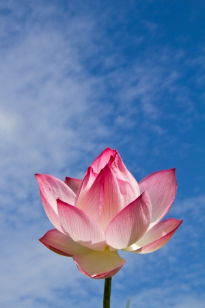 Pink lotus on blue sky background photo