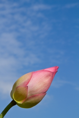 Pink lotus bud on blue sky background photo