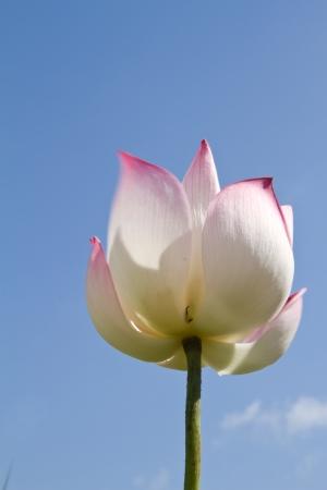 White lotus on blue sky background photo