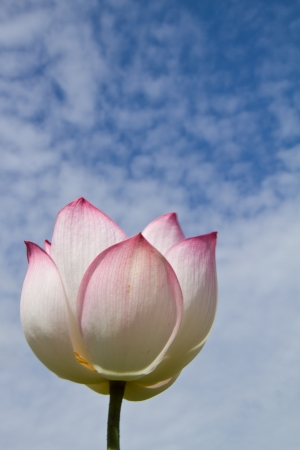 White lotus on blue sky background photo