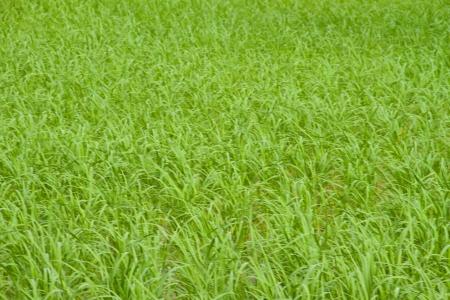 Paddy green feild background photo