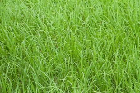 Paddy green feild background photo