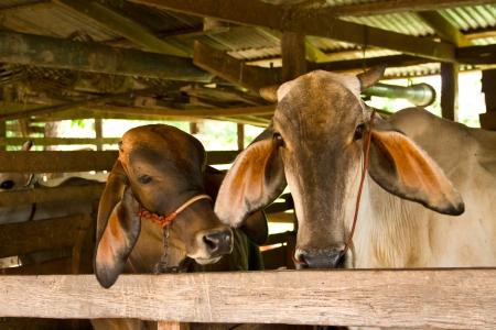 Cow Stock Photo - 14659611