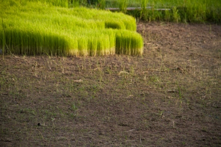 Rice green feild in Thailand photo