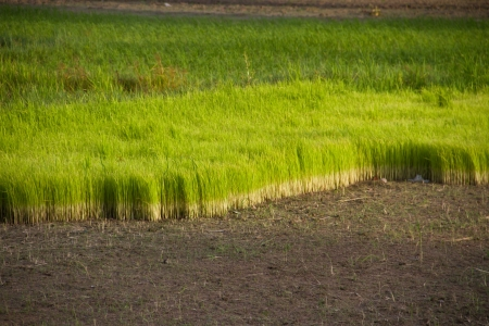 rice sprouts in the paddy field photo