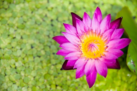 Pink lotus on duckweed background photo