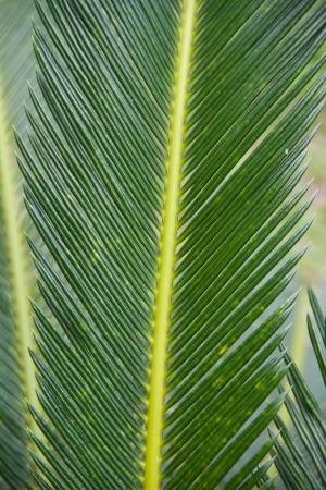 Cycad scientific name is Cycas circinalis L , Families Cycadaceae Stock Photo - 14867612