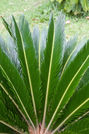 Cycad scientific name is Cycas circinalis L , Families Cycadaceae  photo