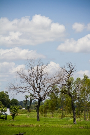Tree of death dry in rice field photo