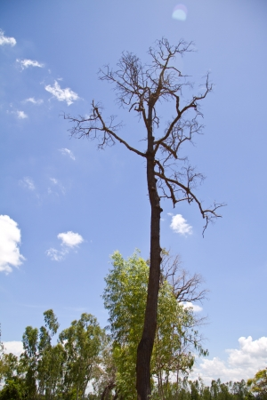 tree dead dry on blue sky background Stock Photo - 14867669