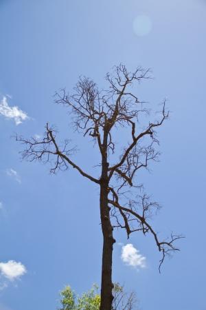 lluvia acida: �rbol seco muerto en el fondo del cielo azul