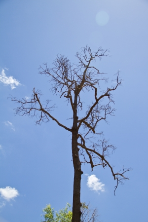 tree dead dry on blue sky background photo