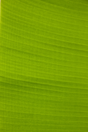 banana leaf green background photo