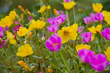 Portulaca flowers photo