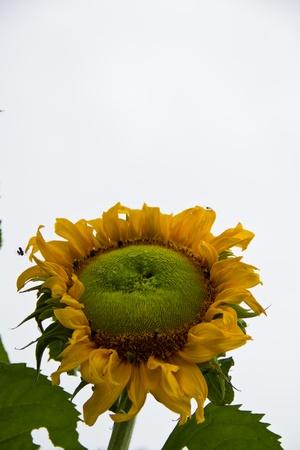 Sunflower on white background photo
