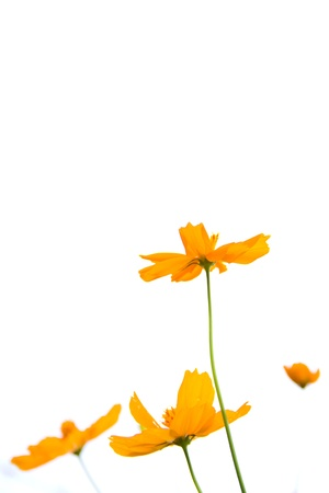 marigold orange flower photo
