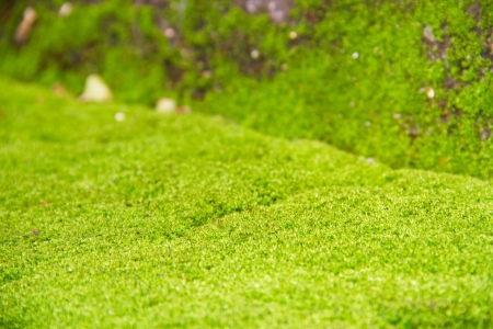 Fresh green natural moss background photo