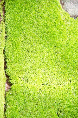Fresh green natural moss background Stock Photo - 15236069