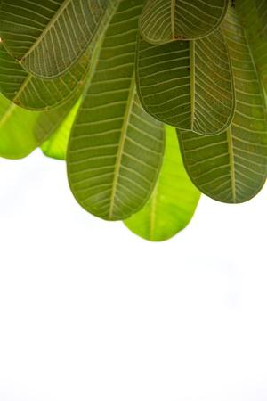 frangipani leaf photo