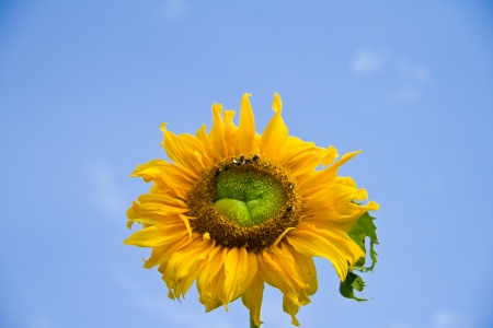 Sunflower on blue sky background photo
