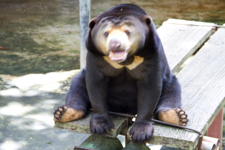 snoot: malayan sun bear