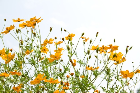 many marigold flowers on the white background photo