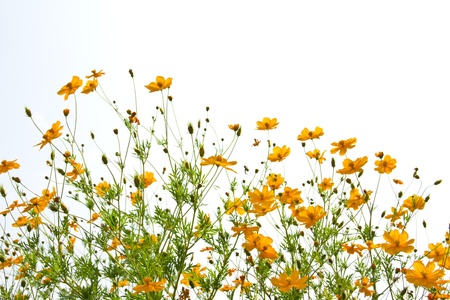garden marigold: many marigold flowers on the white background Stock Photo