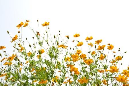 ringelblumen: vielen Ringelblumen auf dem wei�en Hintergrund