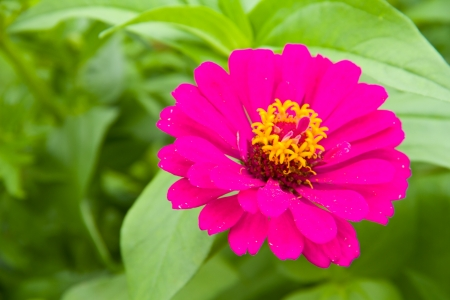 Zinnia flowers ,Thailand photo
