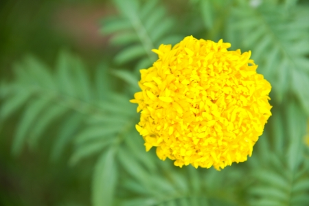 flowers are marigolds Stock Photo - 16546415
