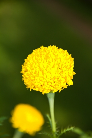 flowers are marigolds Stock Photo - 16546407