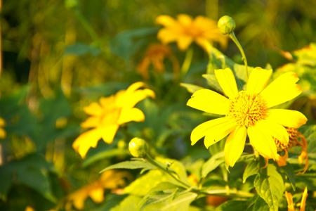 Bua Tong  Mexican sunflower weed valley  in vangnumkeaw, Thailand   photo