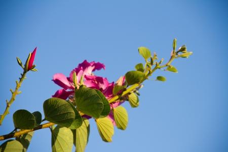orchid tree: Orchid Tree, Purder o Bauhinia purpurea con el cielo azul Foto de archivo