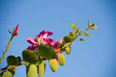 Fabaceae: Orchid Tree, Purder or Bauhinia purpurea with blue sky Stock Photo