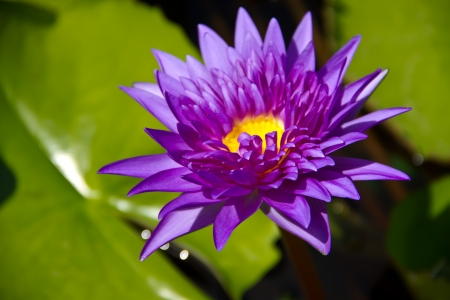 Purple Lotus flowers in Thailand  photo