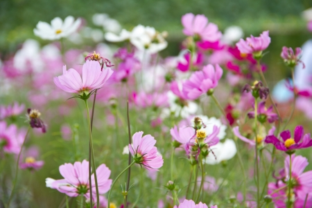 aster flower: Cosmos flower or Mexican aster flower Stock Photo