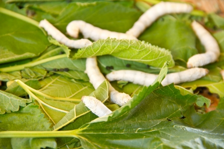 Silkworms close up on a mulberry leaf  photo
