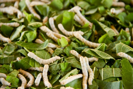 Silkworms close up on a mulberry leaf Stock Photo - 16406166