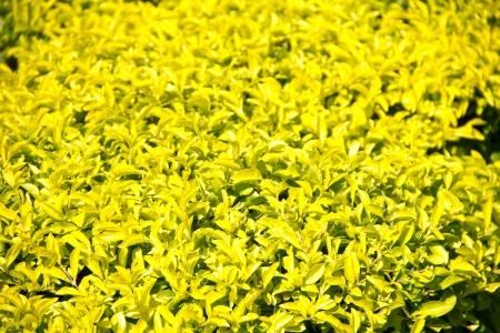 dewdrop: Golden Dewdrop