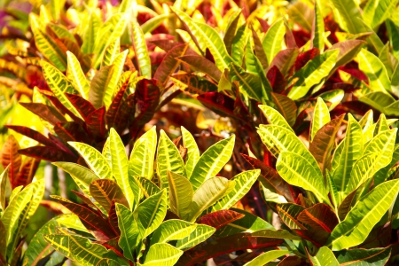 Closeup of colorful tropical plant leaves  Codiaeum variegatum  L   Blume photo