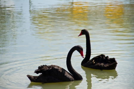 Black swans photo