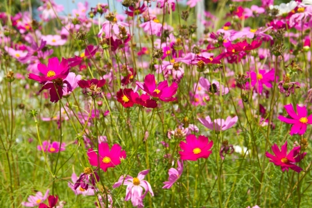 Cosmos or Mexican aster flower photo