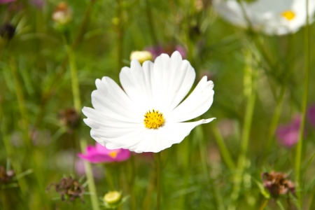 aster flower: Cosmos or Mexican aster flower