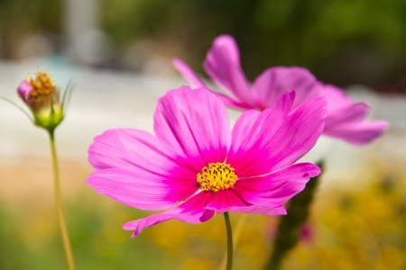 Cosmos or Mexican aster flower