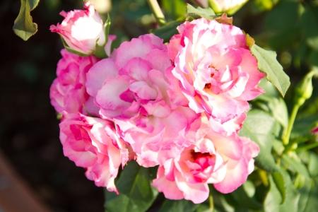 sunlit spray roses photo