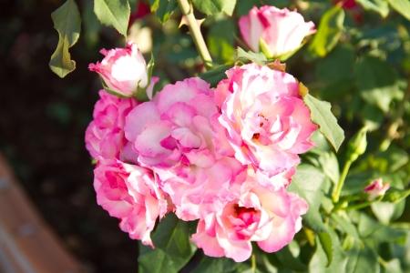 sunlit spray roses Stock Photo - 16862481