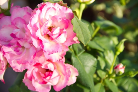 sunlit spray roses Stock Photo - 16862470