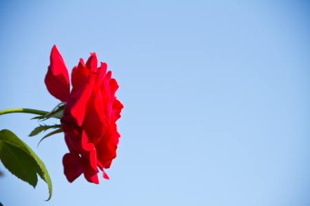 red rose on a background blue sky photo
